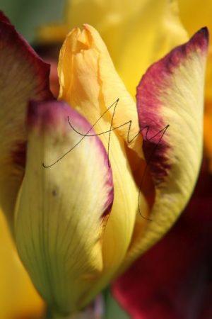 Iris-Blüte - Natur, Landschaften, Tiere, Pflanzen - viele Motive auf Poster oder Leinwand - Online-Kauf günstig