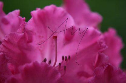 Alpenrose - Natur, Landschaften, Tiere, Pflanzen - viele Motive auf Poster oder Leinwand - Online-Kauf günstig