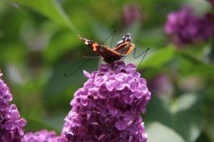 Schmetterling im Sommer auf Flieder