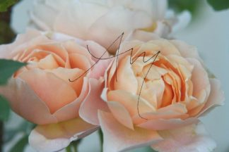 Rosen | Fotomotiv als Poster oder auf Leinwand zum Kauf