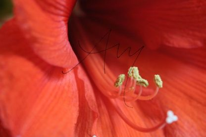 Amaryllis | Fotomotiv als Poster oder auf Leinwand zum Kauf