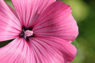 Malve-Blüte