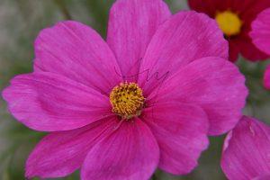 Cosmea-Blüte