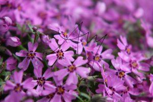 Phlox blühend violett