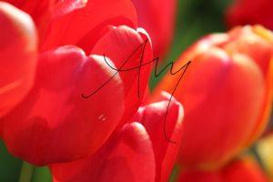 Schön blühende rote Tulpe.