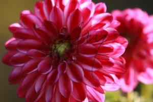Pink blühende Dahlie
