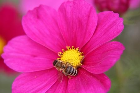 Bienen auf Blume. Insekten freuen sichc über Blüh-Inseln.