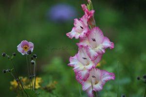 Gladiole in voller Blüte