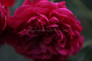 Rote Rose in voller Blüte