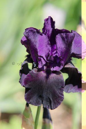 Iris-Blüte lila