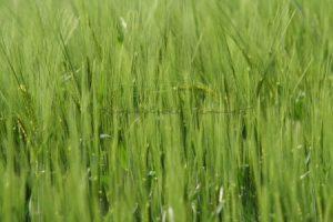 Gräser und Gerste