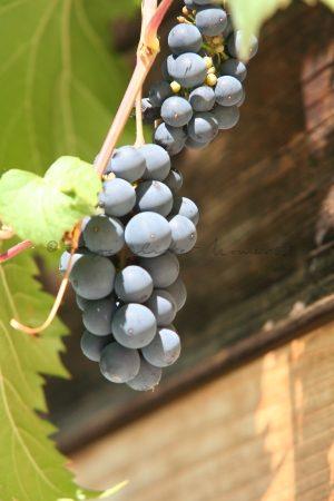 Trauben oder auch Weintrauben