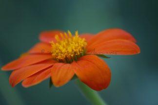 Blüte Dahlie
