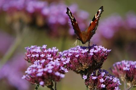 Warum gibt es immer weniger Schmetterlinge bei uns?