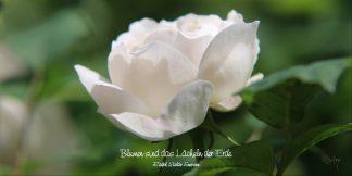 Grußkarte Weiße Rose